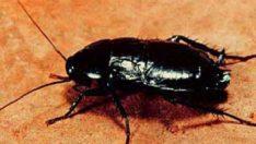 Hamam böceği Zararları